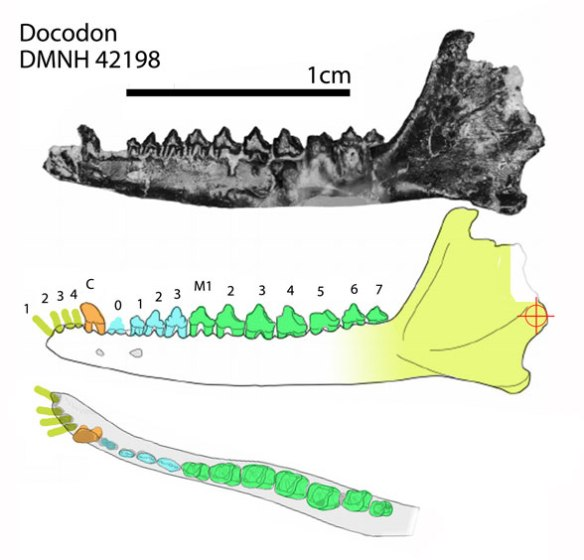 Figure 1. The holotype of Docodon has 4 incisors, 4 premolars and a whopping 7 molars.