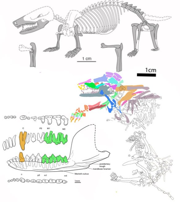 Figure 1. Original reconstruction of Docofossor and original reconstruction of its jaws and teeth along with DGS tracing of skeletal elements.