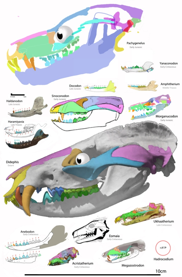 Figure 1. Basal mammals and their ancestors to scale. At 72 dpi the image is about actual size.
