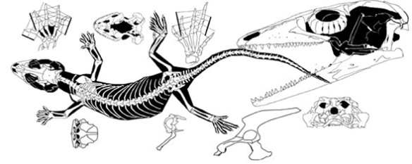 Figure 3. Gekko smithii is an extant member of a genus that extends to the Early Cretaceous. Note the lack of temporal bars and the forward extension of the supratemporal along the lateral parietal.