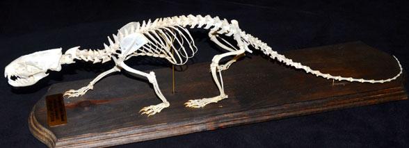 https://pterosaurheresies.files.wordpress.com/2016/10/herpestes-skeleton588.jpg