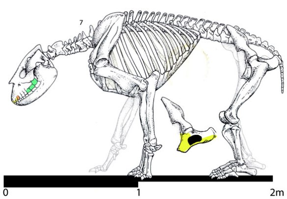 Figure 6. Bear-sized Homalodotherium nests with cat-sized Protypotherium and Miocochilius. They all have a full arcade (11x4) of relatively flat teeth.