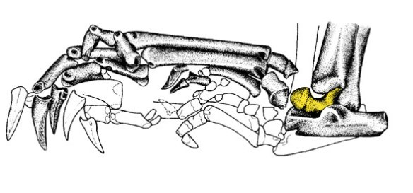 Figure added later. The ankle of Leptictidium includes a spool-shaped double-pulley astragalus.