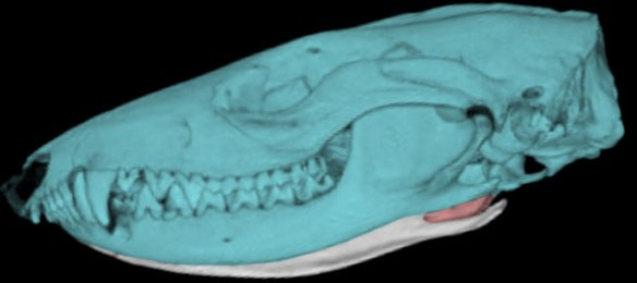Figure 4. Mondelphis domestics with its posteromedial jaw groove highlighted in red. The ear bones are tiny and enclosed within the auditory bulla beneath the cranium.