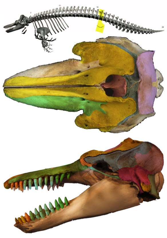 Figure 4. The killer whale (Orcinus orca) skeleton and skull with parts colorized.