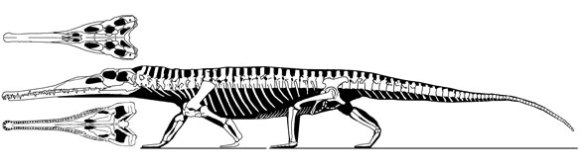Figure 2. Paleorhinus also has a tall ilium with an anterior process like that of rhynchosaurs, AND it is closely related to Teraterpeton in the LRT.