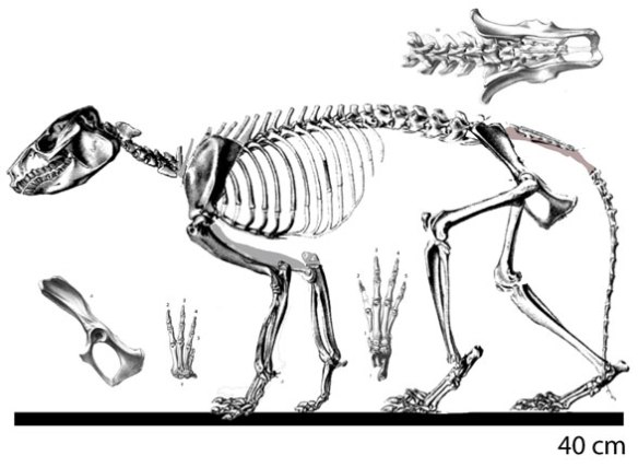 Figure 1. Protypotherium nests with Miocochilius and Homalodotherium in the LRT between mesonychids and paenungulates.