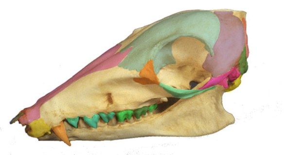 Figure 2. Rhynchocyon skull with select bones colored. Note the large canines, angled rostrum and just the genesis of the high cranial crest seen in the much larger Sinonyx.