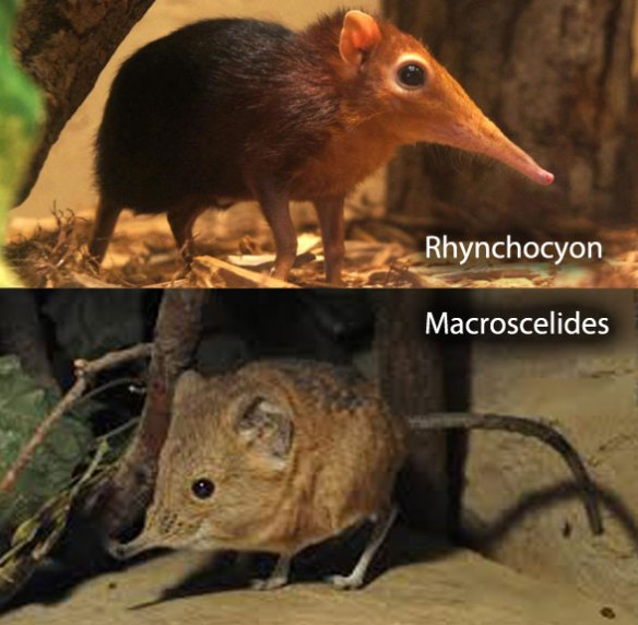 Figure 6. Rhynchocyon (above) and Macroscelides (below) compared. Though both are considered elephant shrews, they nest in separate major mammal clades in the LRT.