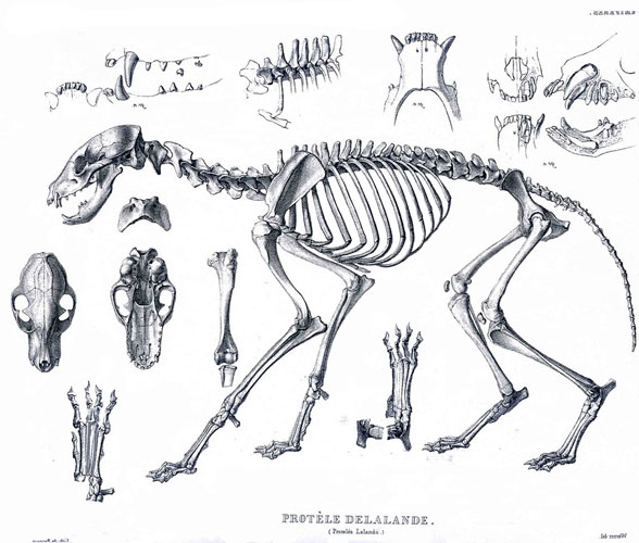 https://pterosaurheresies.files.wordpress.com/2016/11/aardwolf_proteles_skeleton588.jpg
