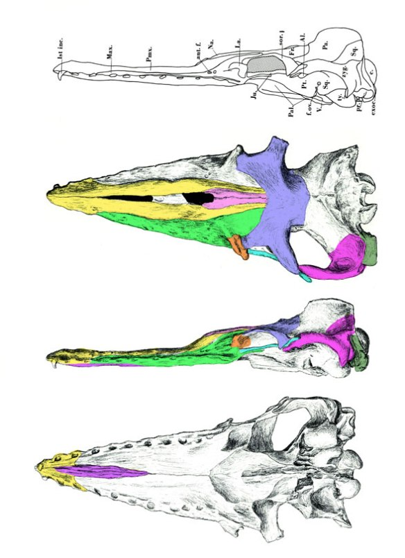 Figure 1. Aetiocetus skull in several views.