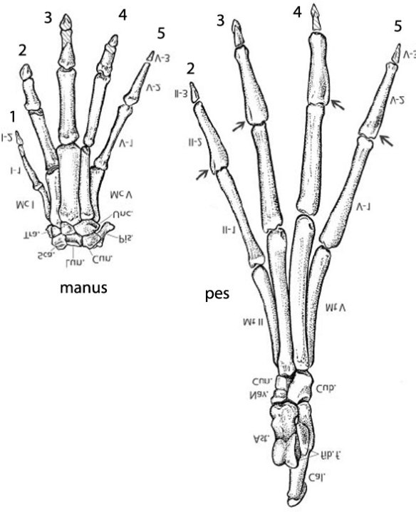 6. Artiocetus manus and pes had claw-like unguals, not hooves.