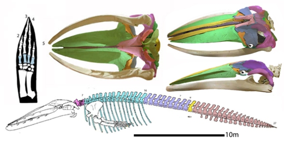 Figure 4. Blue whale (Balaenoptera musculus) skull and skeleton. Note the lack of a thumb goes back to Mesonyx and Paleoparadoxia