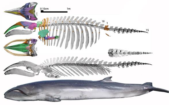 Blue Whale Skull Diagram Illustration Of Wiring Diagram