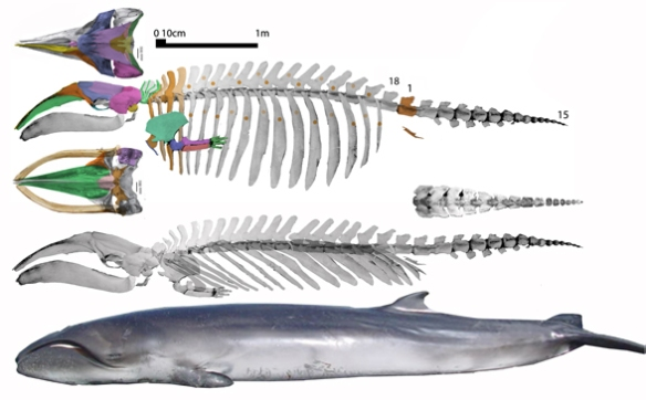 Figure 2. Caperea, the pygmy right whale, is a much smaller sister to Eubalaena. Only the skeleton with the ribs angled back fits the stranded in vivo specimen and the skull is a better fit when it is slightly larger.