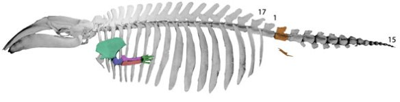 Figure 5. Caperera, the pygmy right whale, has fewer lumbar vertebrae, smaller forelimbs and broad ribs resembling those of Cetotherium.