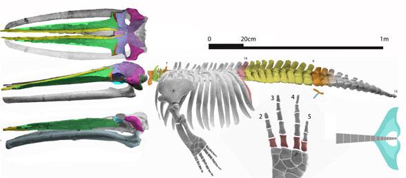 Figure 3. Cetotherium skeleton with color overlays to help identify bones.