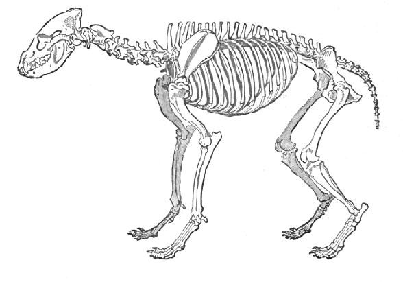 Figure 3. Crocuta (hyena) skeleton. Note similarities to Canis (figure 2)