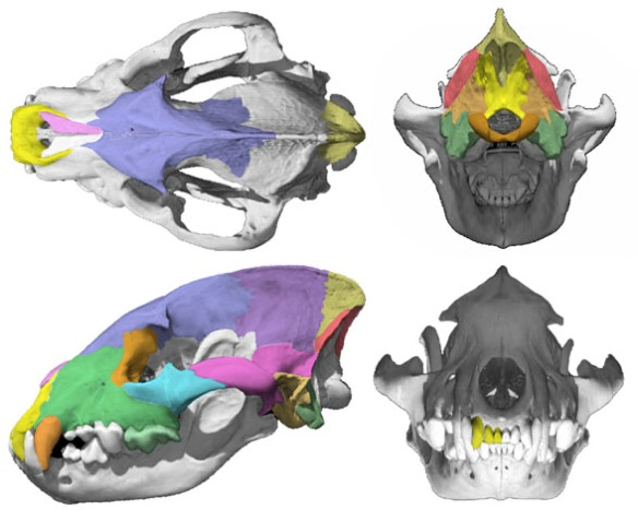 Figure 1. Crocuta skull is quite similar to that of Canis, its sister in the LRT. But also similar to Panthera, its other sister in the LRT.