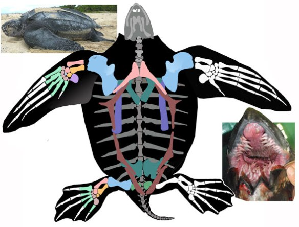 Figure 2. Dermochelys skeleton, ventral view. In vivo (upper left) and open mouth (lower right).