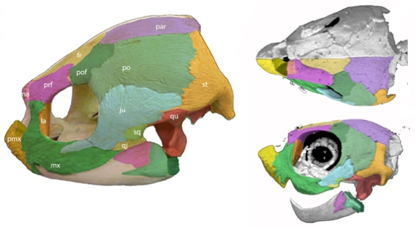 Figure 1. Dermochelys, the leatherback turtle, has a lateral temporal fenestra, a product of bone reduction between the jugal and squamosal + quadrate. Adult at left, juvenile at right, not to scale. The elongate premaxilla is convergent with soft-shell turtles. Note the ontogenetic changes here. Pretty remarkable.