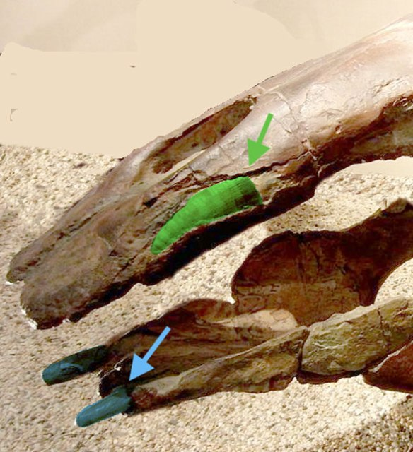 Figure 7. Desmostylus jaws with green and blue arrows pointing to buried canine and anterior dentary tusks. Compare to gray whale rostrum in figure 6.