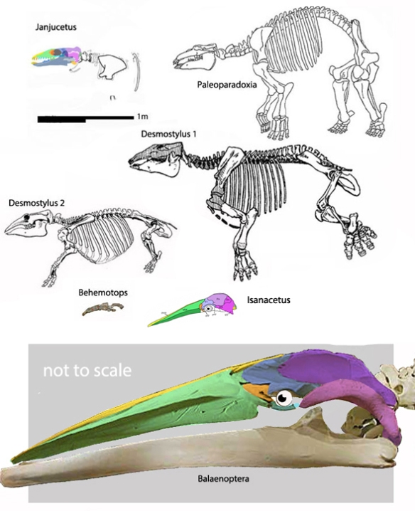 Figure 6. Isanacetus compared to sisters recovered in the LRT. Balaeonoptera is much reduced.