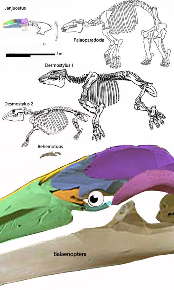 Figure 2. Two specimens attributed to Desmostylus, but are not congeneric, compared to scale with sister taxa including Paleoparadoxia and Balaenoptera, the blue whale.