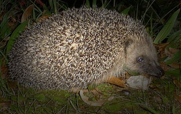 Figure 4. European hedgehog, a member of Glires.