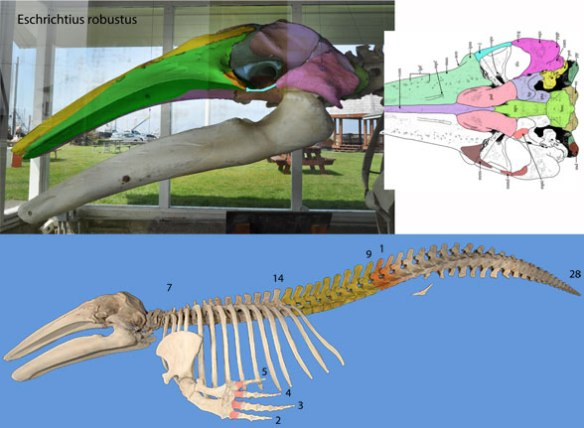 Figure 6. Eschrichtius-robustus, the gray whale is the most basal mysticete tested in the LRT with a skull similar to Desmotylus and Beheomotops.