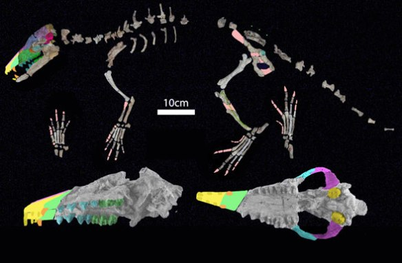 Figure 3. Indohyus skeletal elements nest between tenrecs and whales.