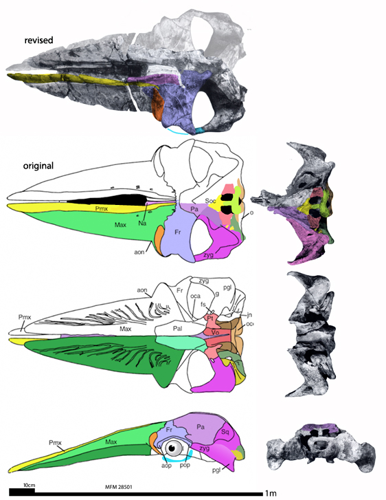 Figure 5. Isanacetus skull in several views. I also present skull tracings in DGS that differ in some respects from the published drawings.