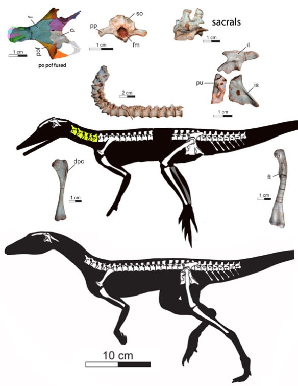 Figure 1. Ixalerpeton bones (above) as originally reconstructed (below) and a new reconstruction (middle).