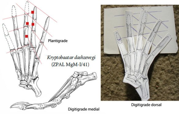 note the PILs of Kryptobaatar become better aligned when the pes is elevated to the digitigrade configuration.