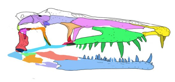 Figure 1. Litorosuchus skull reconstructed from tracings in figure 2. That antorbital fenestra does not make it an archosaurifom. At least two other clades also produce an antorbital fenestra.