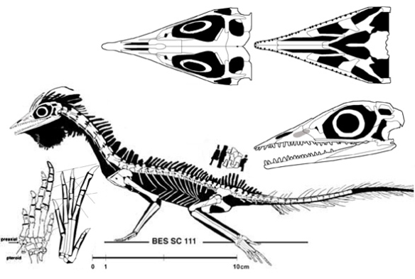 Figure 5. The BES SC 111 specimen of Macrocnemus with dorsal frills like Litorosuchus.