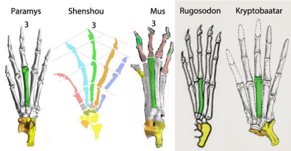 Figure 1. Rodent and multituberculate right pedes dorsal view. Note the derived pes of Kryptobaatar based on the primitive pedes of Shenshou and Paramys. Multis have a reduced astragalus (orange) for a looser ankle joint for an arboreal niche.