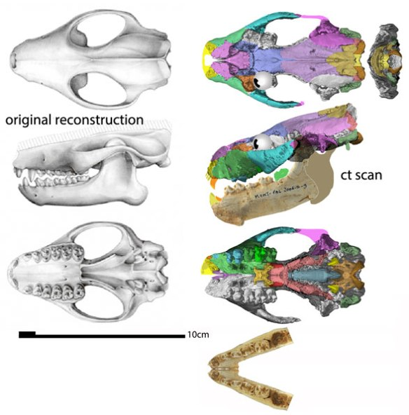 Figure 3. Ocepeia: before and after. The original reconstruction is here compared to a tracing of CT scan, duplicated left to right. From the Paleocene, Ocepeia is the current sister to Hippopotamus and mesonychids in the LRT. Already the wide rostrum and high orbit are apparent.