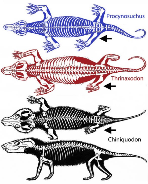 Figure 2. Chiniquodon had erect hind limbs and sprawling forelimbs, the first stage in parasagittal locomotion, a requirement for the invention of the diaphragm.