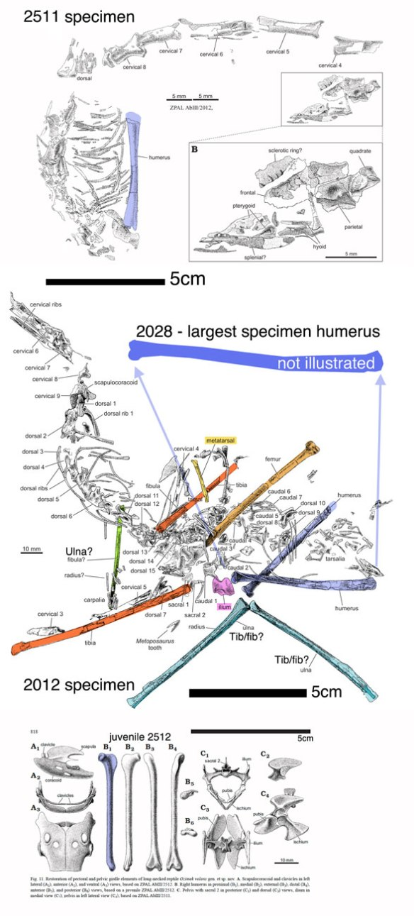 Figure 1. Three in situ specimens attributed to Ozimek. The largest humerus (purple) is scaled up from the smaller specimen. These are 80% of full scale when viewed at  72 dpi. To me, that 2012 ulna looks like a tibia + fibula and the 2012 humerus looks like a femur, distinct from the 2512 humerus.
