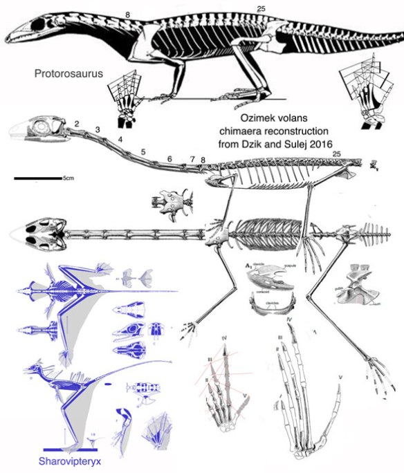Figure 2. Reconstruction of Ozimek with hands and feet flipped to a standard medial digit 1 configuration and compared to Sharovipteryx and Prolacerta to scale. Note the short robust forelimbs and elongate pectoral elements of Sharovipteryx, in contrast to those in Ozimek.