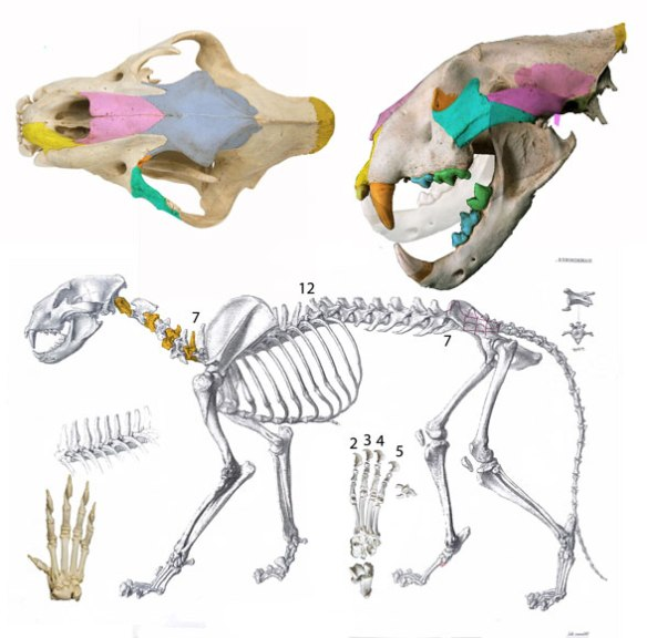 Figure 1. Panthera leo skull and skeleton. This taxon nests basal to hyenas + wolves.