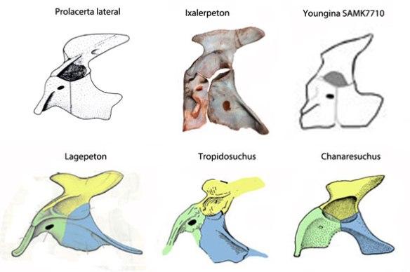 Figure 2. Ixalerpeton pelvis compared to Lagerpeton, Tropidosuchus, Chanaresuchus, Prolacerta and the SAM K 7710 specimen of Youngina.