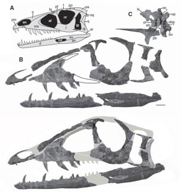 Figure 4. Skull of Tawa. Note the descending mandible tip.