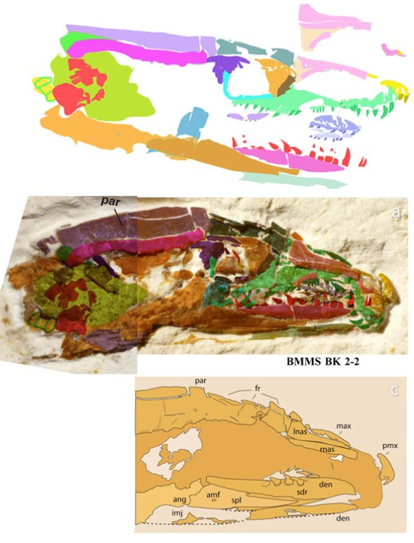 Figure 2. The skull of Tetrapodophis in situ and colorized (middle) as originally interpreted (below) and reconstructed using DGS (above). I have not seen the fossil, but examination of the photograph using DGS permits more details to be identified. This image will be tested for validity Monday. Only the major bones were identified here. The skull is about 1 cm in length.