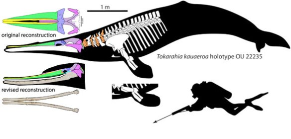 Figure 2. Tokarahia, a toothless odontocete long thought to be a basal mysticete. Original interpretation of materials is presented alongside a new interpretation, closer to the bones in situ. See figure 4.