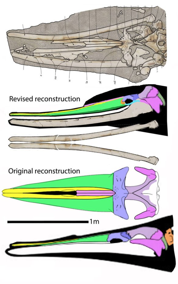 Figure 4. Tokarahia in situ, as originally reconstructed and as reconstructed here more closely following the in situ fossil data. This odontocete has a crested braincase and a 'smiling' narrow rostrum, like that of a dolphin, despite the lack of teeth.