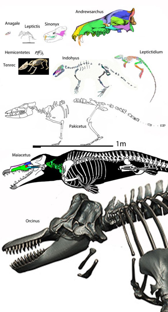 Figure 1. Odontoceti (toothed whale) origin and evolution. Here Anagale, Andrewsarchus, Sinonyx, Hemicentetes, Tenrec Indohyus and Leptictidium precede Pakicetus. Maiacetus and Orcinus are aquatic odontocetes.