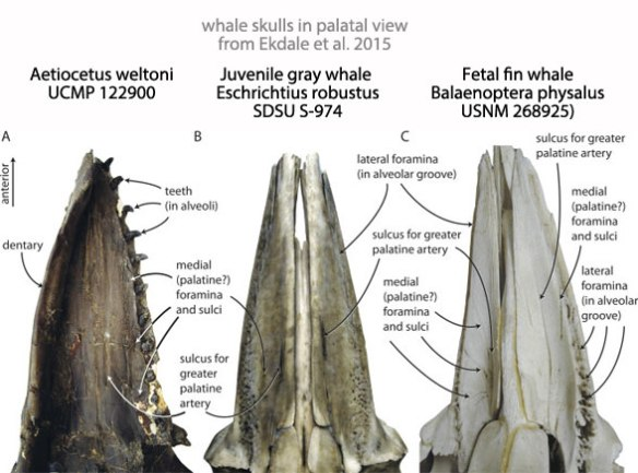 Figure 2. Palate and teeth of the odontocete Aetiocetus alongside palates of juvenile gray whale and embryo fin whale, members of the Mysticeti. Aetiocetus was long thought to be a basal mysticete.