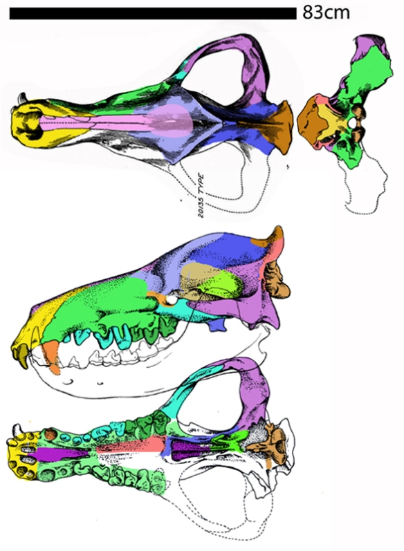 Figure 1. Andrewsarchus with Sinonyx mandible. The lower canine helps constrain the shape of the missing upper canine.